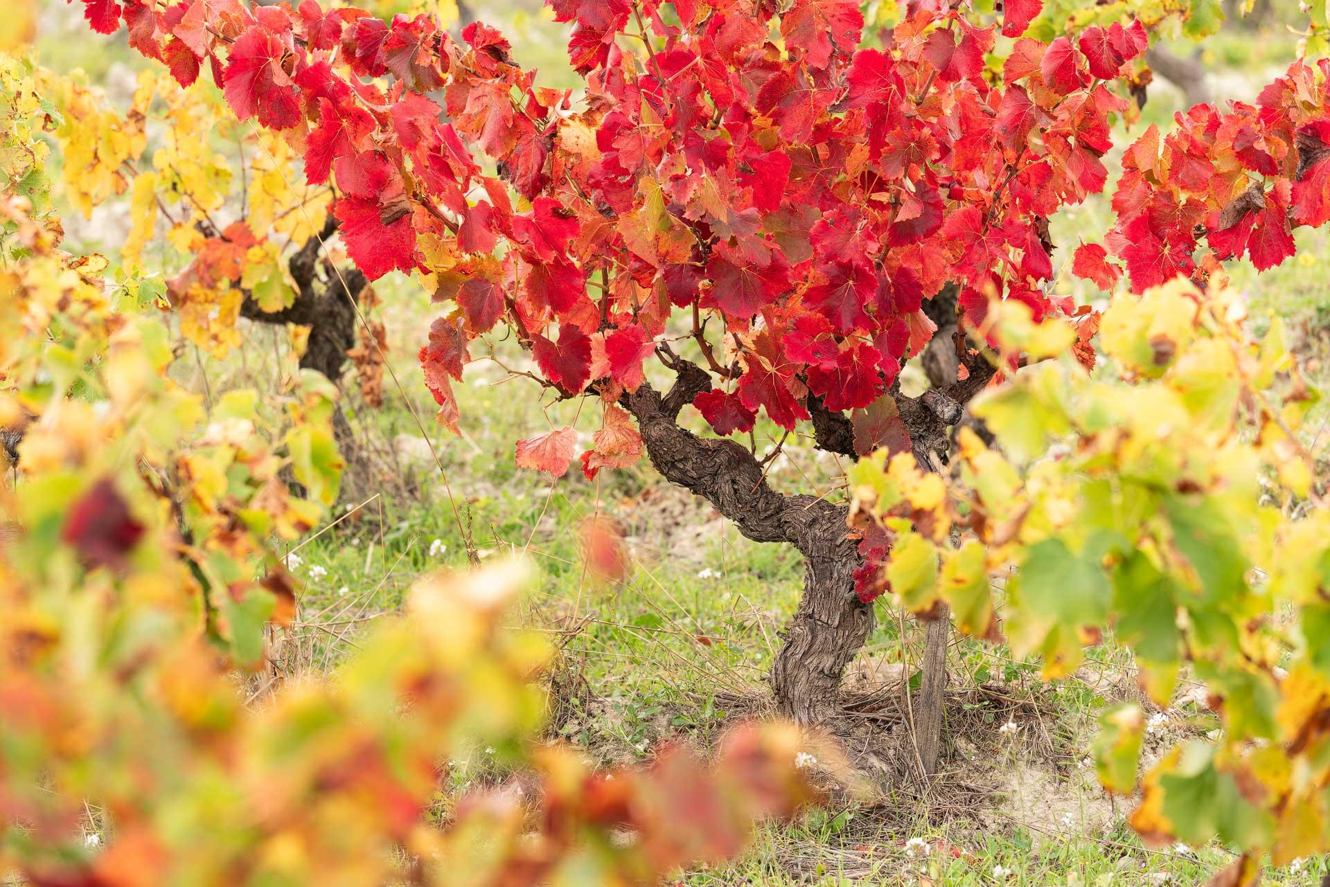 Photographie d'un plan de vigne à la saison automnale, les feuilles sont rouges, jaunes et orangées