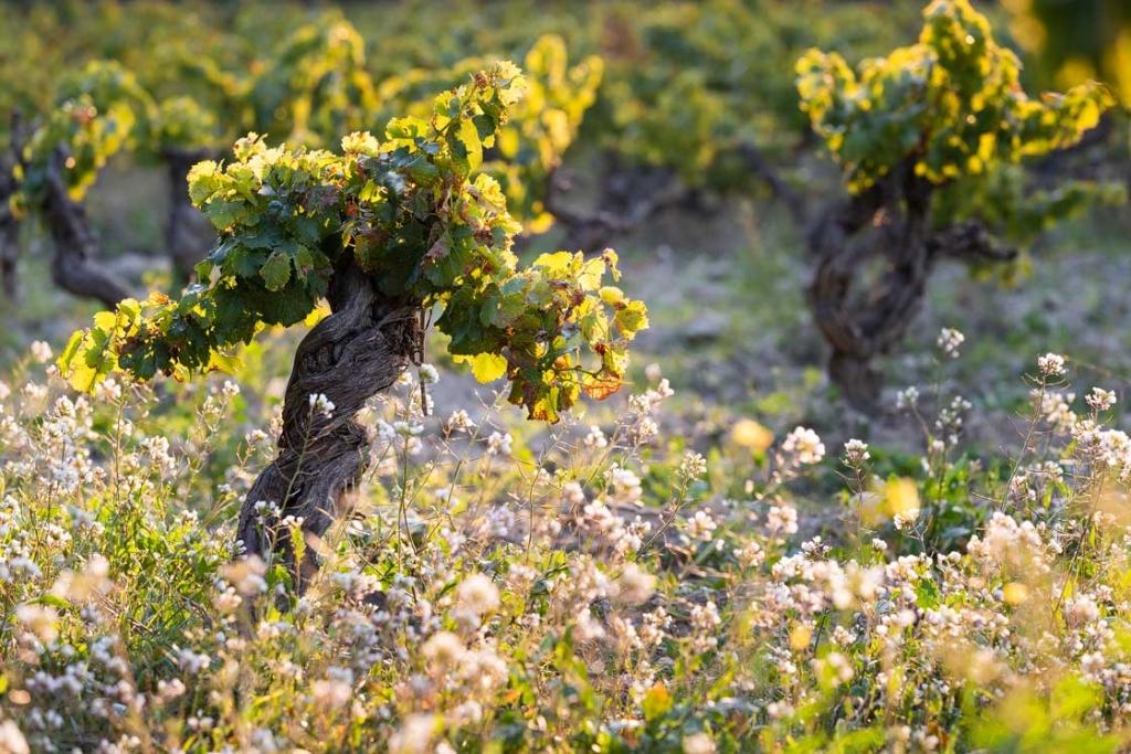 Photographie d'un cep de vigne du Domaine d'Escarvaillac en Avignon, la photographie a été prise au petit matin