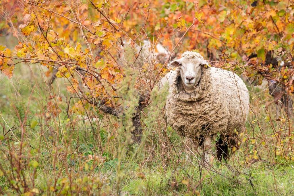 Photographie des moutons du Domaine d'Escarvaillac, les moutons broutent l'herbe dans les vignes et contribue au bon éco-système du terroir du Domaine